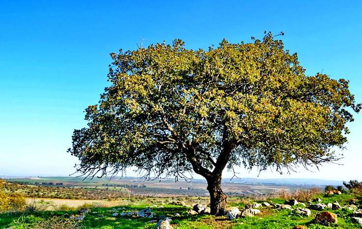 עצי אלון תבור על שביל הבשורה