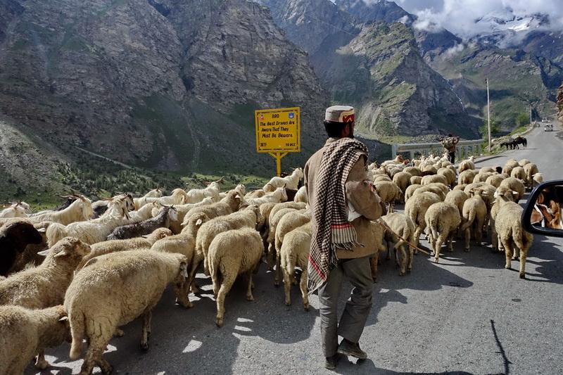 רועי כבשים בדרך - הולכים ימים רבים על מעבר למעברים למצוא עמקים עם עשב רענן